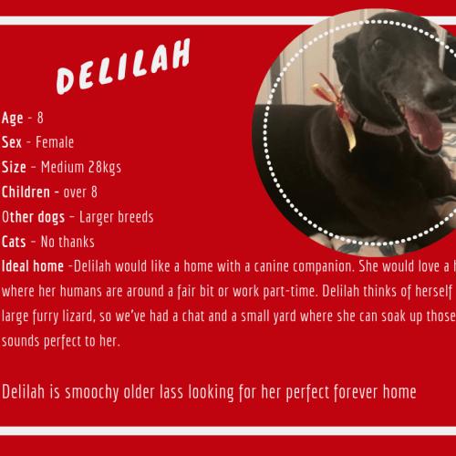 Delilah - Greyhound Dog