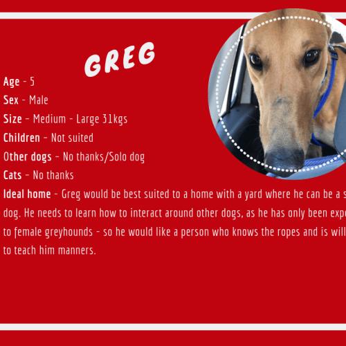 Greg - Greyhound Dog