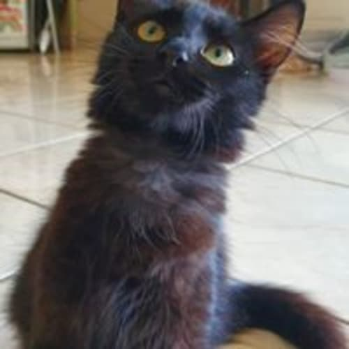 Poppin - Domestic Medium Hair Cat
