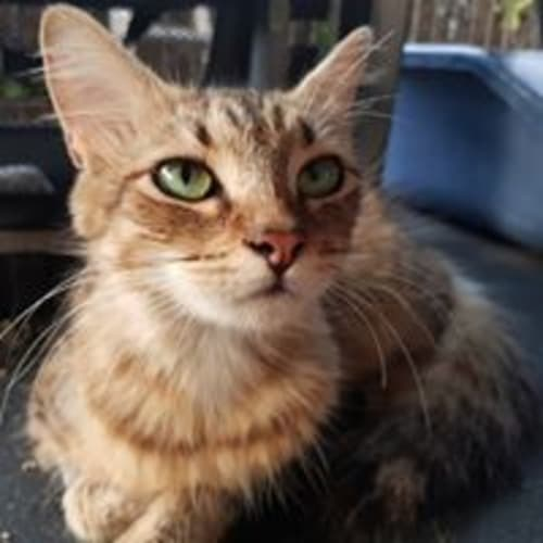 Cheryle - Domestic Medium Hair Cat