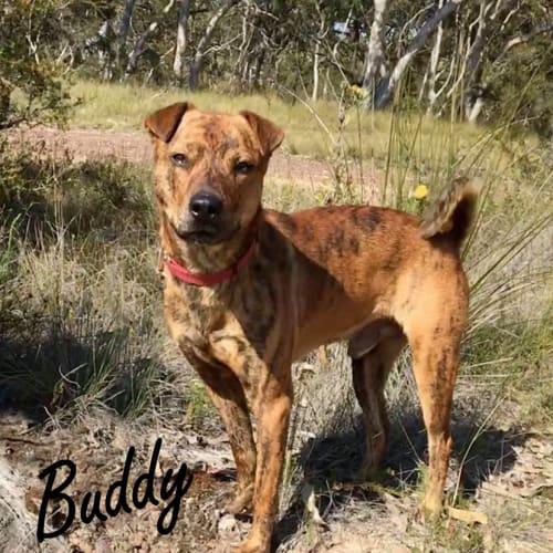 Buddy Boy - Shar-Pei x Staffy Dog
