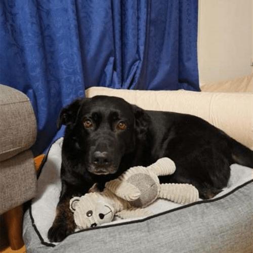 Opie - German Shepherd x Labrador Dog