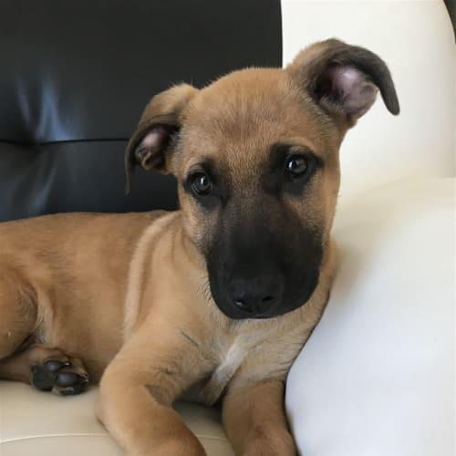Hendrix - German Shepherd Dog