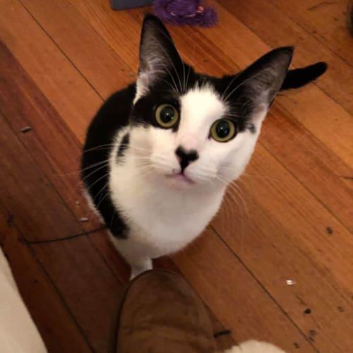 Sweet Flora - Domestic Short Hair Cat