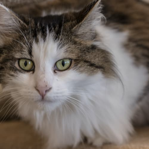 Isa - Visit Me at PETstock Mandurah! - Domestic Long Hair Cat