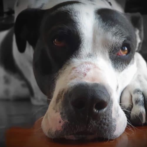 Gemima  - Bull Arab Dog