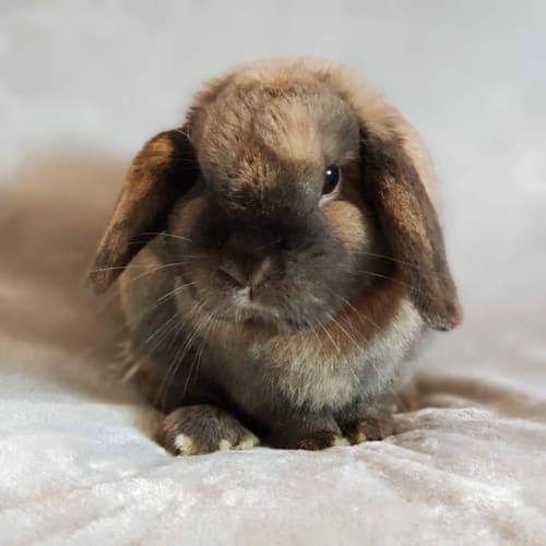 Noah  - Lop Eared Rabbit