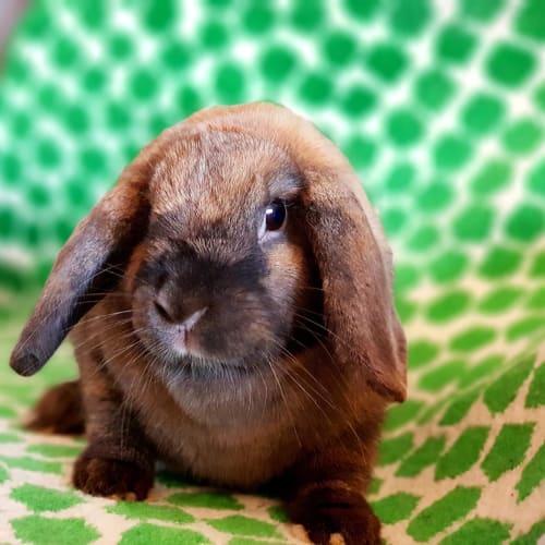 Hazel - Lop Eared Rabbit