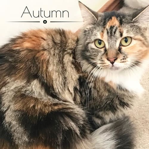 Autumn - Domestic Long Hair Cat