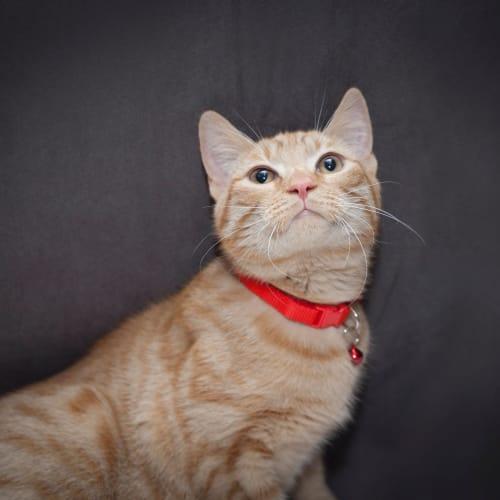 Nicholas  - Domestic Short Hair Cat