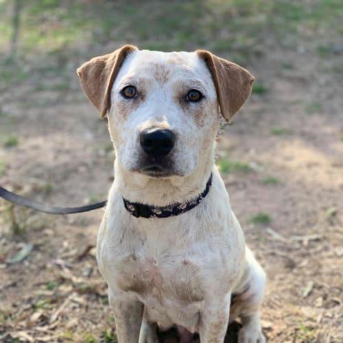 Oracle - Australian Cattle Dog