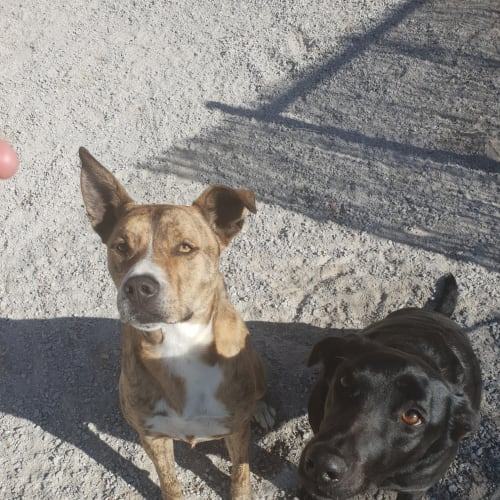 Sid - Australian Bulldog x Staffordshire Bull Terrier Dog