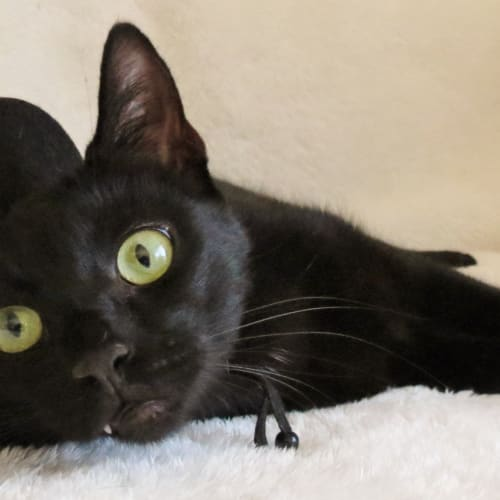 Figaro - Domestic Short Hair Cat