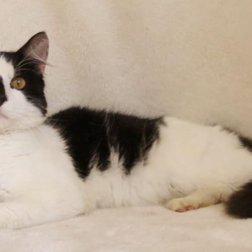 D.C (Drain Cat) - Domestic Short Hair Cat