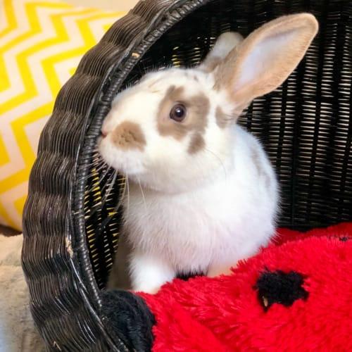 Sampson  - Domestic Rabbit
