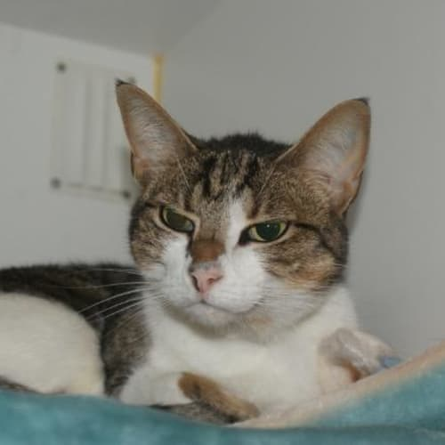 Saffy - Domestic Short Hair Cat