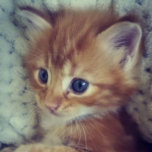 Leo - Domestic Medium Hair x Domestic Short Hair Cat