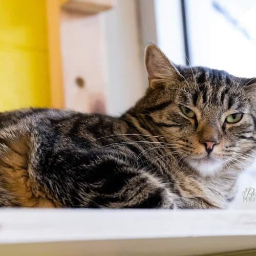 Dillon - Domestic Short Hair Cat