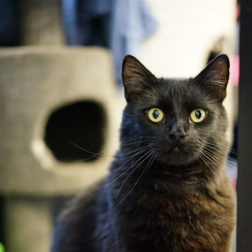 Lui - Domestic Medium Hair Cat