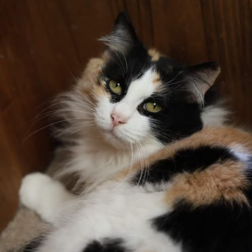 Stella Rose - Domestic Long Hair Cat
