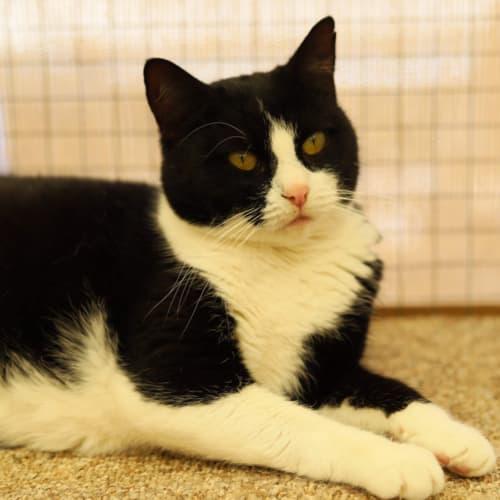 Tamara - Domestic Short Hair Cat