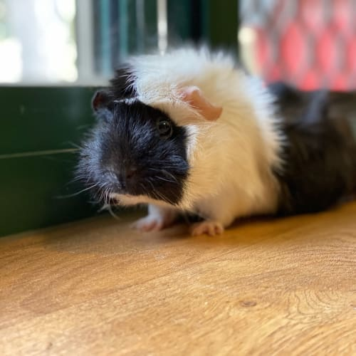 Sandy - Abyssinian Guinea Pig