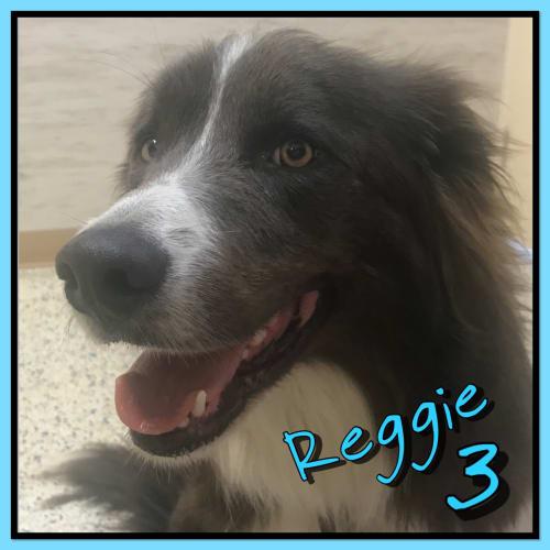 Reggie - Border Collie Dog
