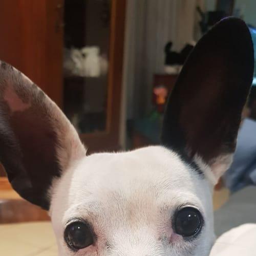 Roo - Chihuahua x Miniature Fox Terrier Dog