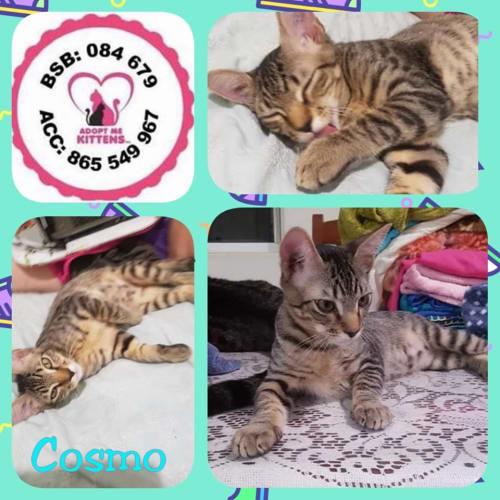 Cosmo - Domestic Short Hair Cat