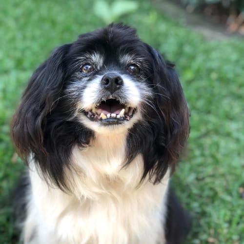 Elijah - Tibetan Spaniel Dog