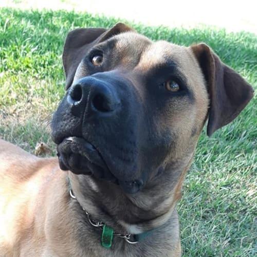 Krissy - Mastiff Dog