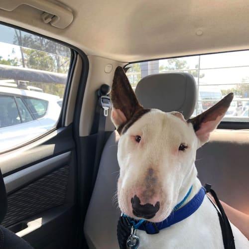 Donte' - Bull Terrier Dog