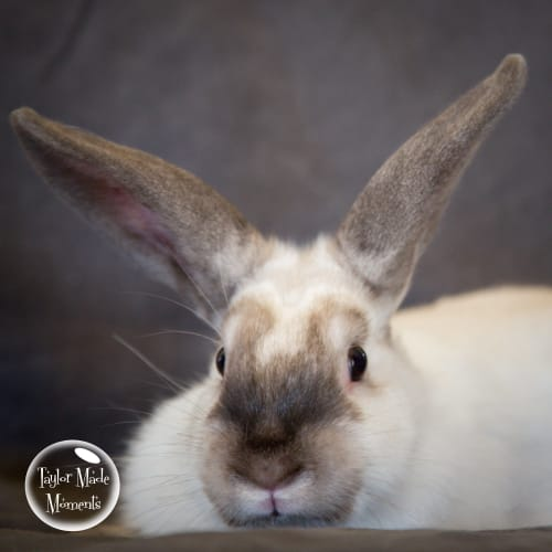 Chai - Domestic Rabbit