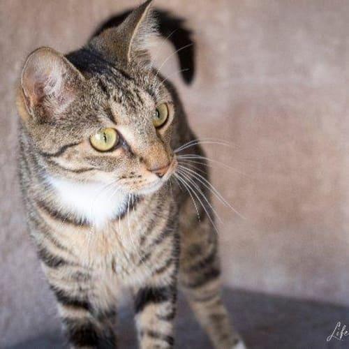 Juliette - Domestic Short Hair Cat