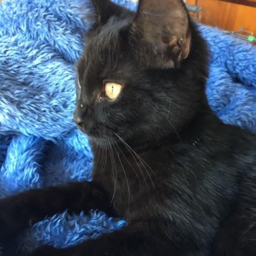 Jinx - Domestic Short Hair Cat