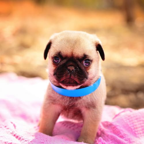 Tommy - Pug Dog