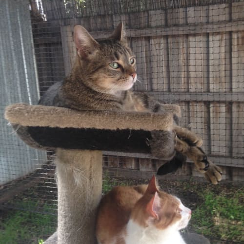 Kay & Kimi (Located in Yarraville) - Domestic Short Hair Cat
