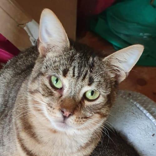 Jakodi (Located in Wyndham Vale) - Domestic Short Hair Cat