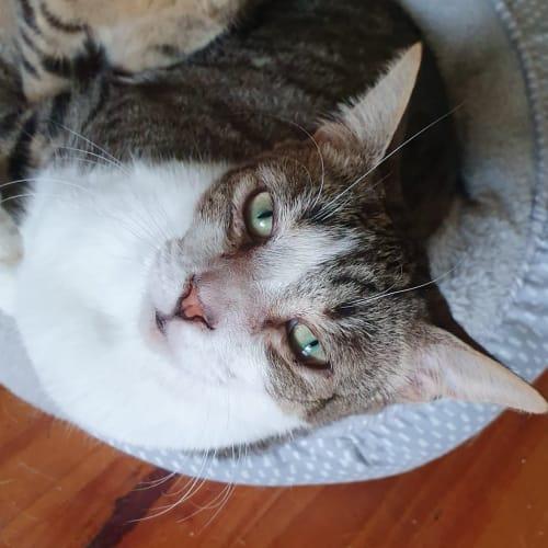 Tahvo (Located in Wyndham Vale) - Domestic Short Hair Cat