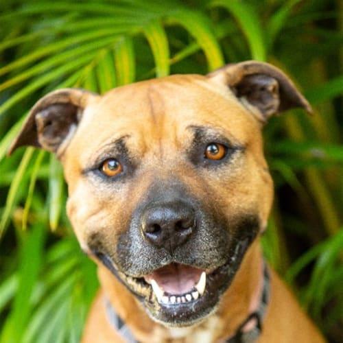 Zoey - English Staffordshire Bull Terrier Dog