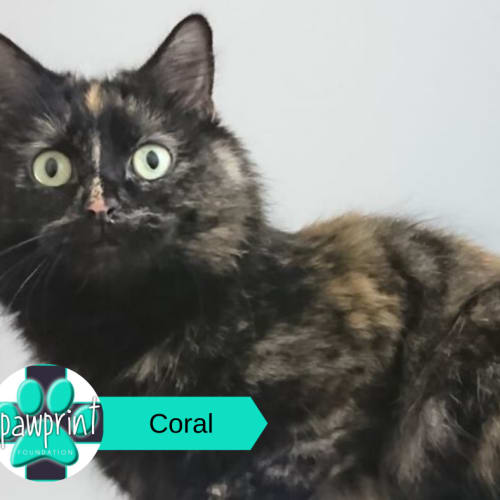 Coral - Domestic Medium Hair Cat
