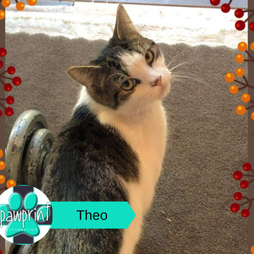 Theo - Domestic Medium Hair Cat