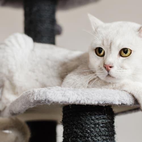160 - Bellamy - Burmilla Cat