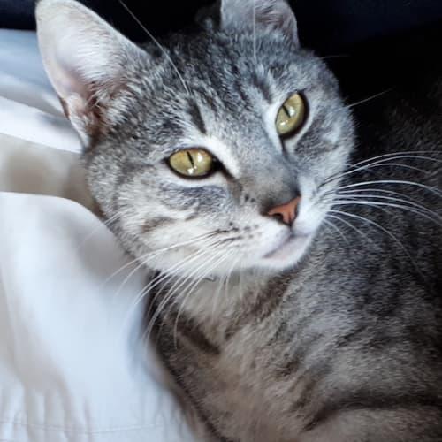 Ailsa - Domestic Short Hair Cat