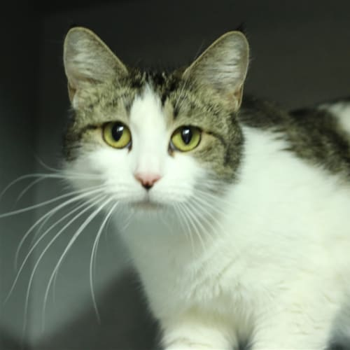 Gabriella - Domestic Short Hair Cat
