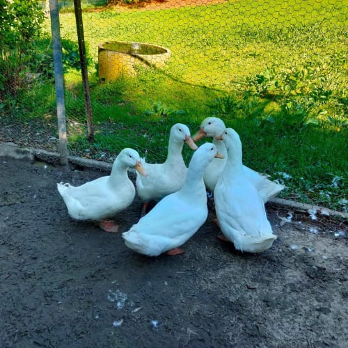 Ducks for adoption -  Duck
