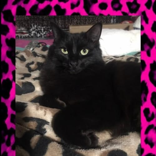 Morticia - Domestic Short Hair Cat