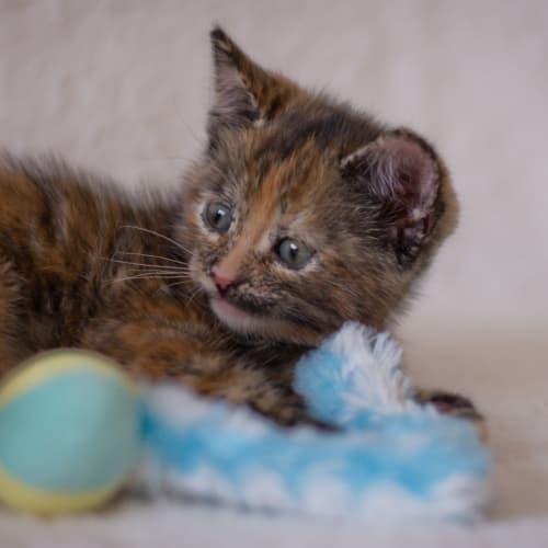 Fuchsie - Domestic Short Hair Cat