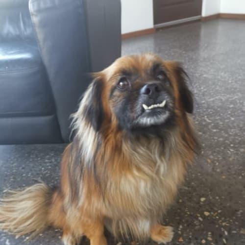 Buddy  - Pomeranian x Tibetan Spaniel Dog