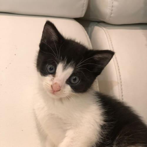 Amelia - Domestic Short Hair Cat